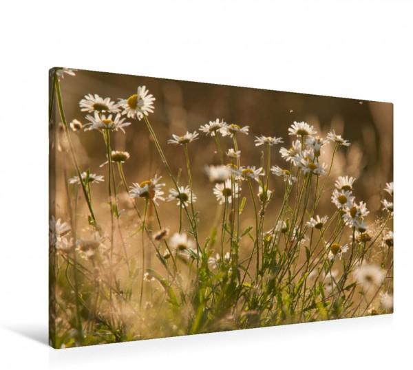Wandbild Traumhafte Blüten Magerwiesen Margeriten Magerwiesen Margeriten