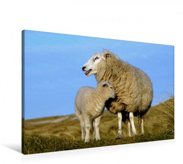 Wandbild Sylt ist Meer Schafsfamilie in den Dünen von Sylt Schafsfamilie in den Dünen von Sylt