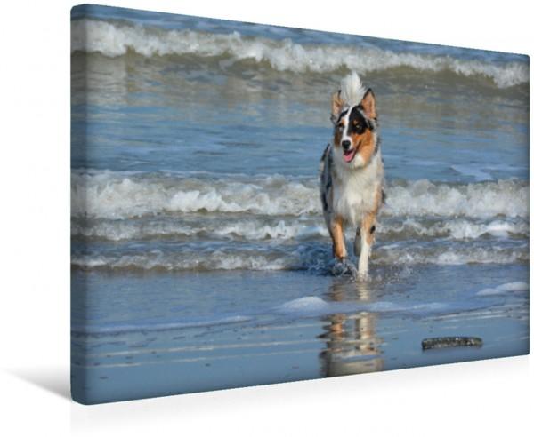 Wandbild Mit dem bildhübschen Australian Shepherd macht jeder Tag am Meer Spaß Der sportliche Aussie fühlt sich auch an der Nordsee sehr wohl und genießt das Laufen durch die Nordseewellen Der sportli