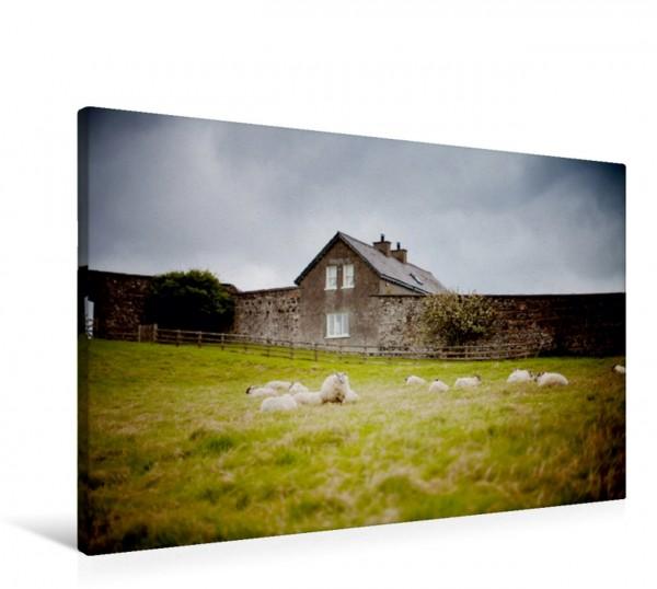 Wandbild Schafe bei Castlerock Nordirland Mittagsruhe in der Nähe vom Mussenden Temple. Mittagsruhe in der Nähe vom Mussenden Temple.