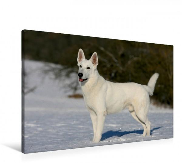 Wandbild Weißer Schäferhund Bildschöner Weißer Schäferhund Rüde im Schnee Bildschöner Weißer Schäferhund Rüde im Schnee