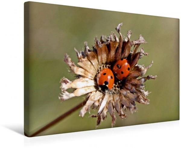Wandbild Zwei Marienkäfer Coccinella septempunctata auf verblühter Skabiosen-Flockenblume