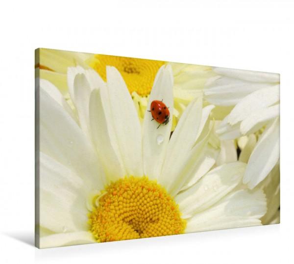 Wandbild Margeriten mit Marienkäfer Sommerblumen Sommerblumen