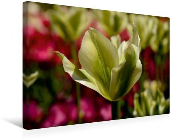 Wandbild Tulpen im Frühling