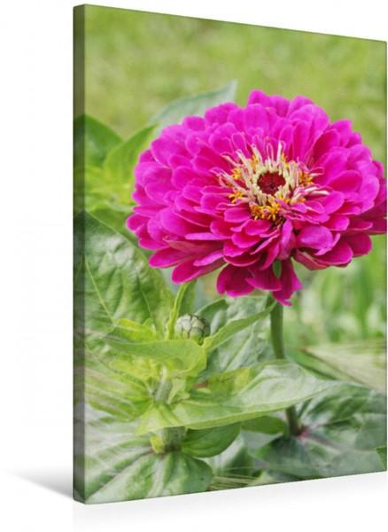 Wandbild Zinnie im Garten Blütenporträt Blütenporträt