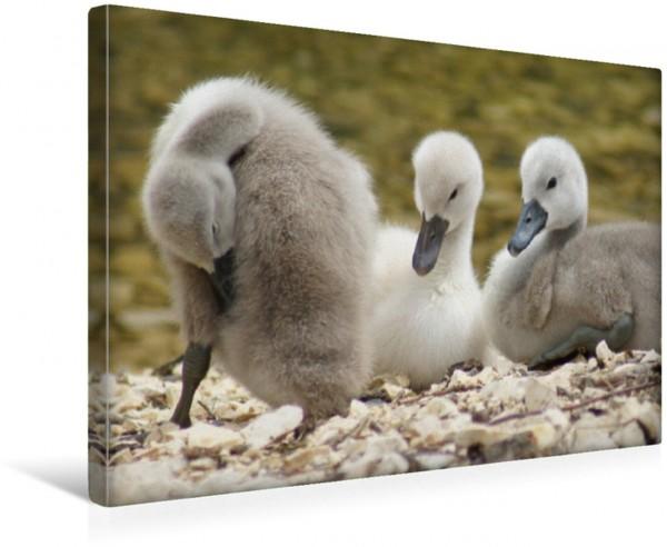 Wandbild Niedliche Schwanenküken Schwäne und Wasservögel Schwäne und Wasservögel