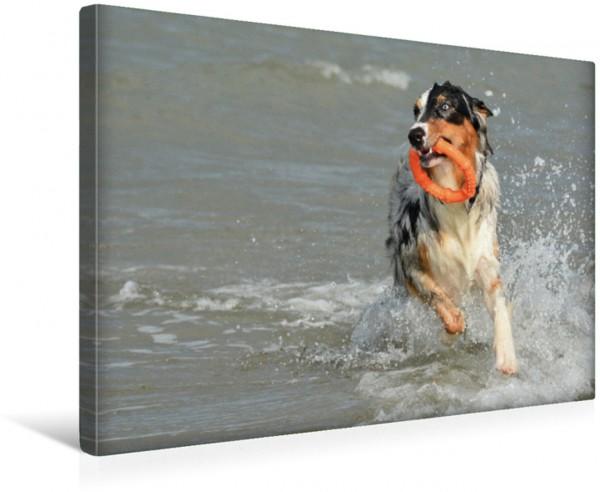 Wandbild Der Australian Shepherd ist ein überaus sportlicher Hund der auch im Meer eine gute Figur zeigt Auch im Wasser ist der Aussie mit Wurfring kaum zu bremsen Auch im Wasser ist der Aussie mit Wu