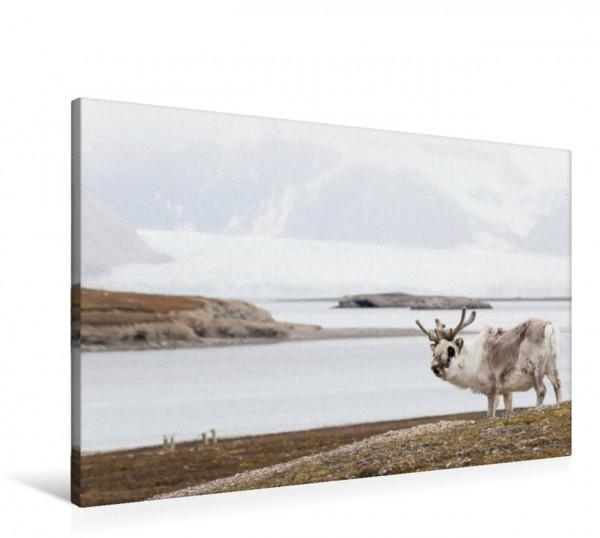 Wandbild Spitzbergen-Rentier