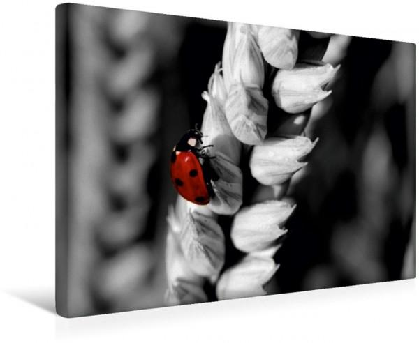Wandbild Marienkäfer im Weizenfeld, Colorkey Ein Marienkäfer auf einer Weizenähre als Colorkey Ein Marienkäfer auf einer Weizenähre als Colorkey