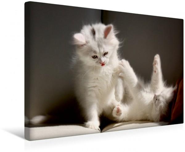 Wandbild Katzen - Perserkatze