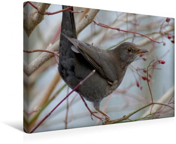 Wandbild Amsel Singvögel und Vögel Singvögel und Vögel
