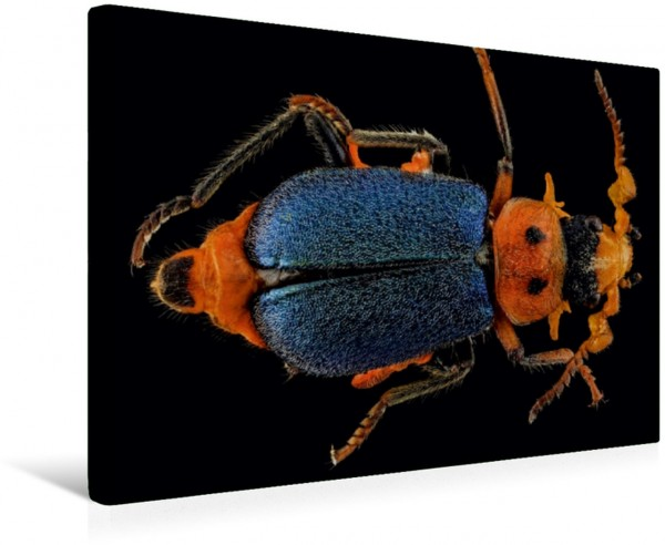 Wandbild Käfer Schillerndes Insekt auf schwarzem Hintergrund Schillerndes Insekt auf schwarzem Hintergrund