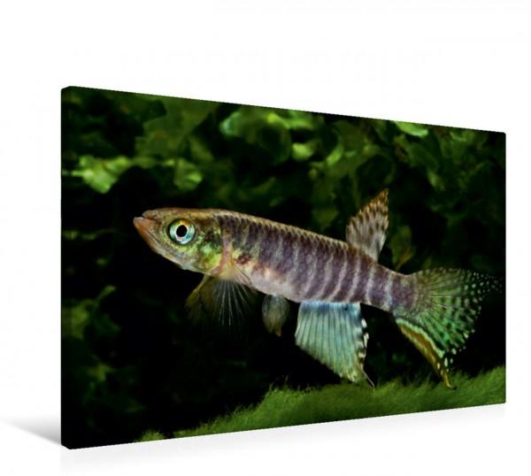 Wandbild Killifische Südamerikas - Bunte Fische Aphyolebias peruensis Aphyolebias peruensis