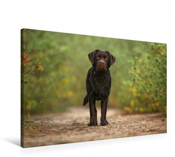 Wandbild Labradorwelpe - ein Blick zum dahinschmelzen Labrador: süß treu lebensfroh Labrador: süß treu lebensfroh