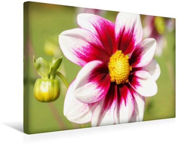 Wandbild Einfache Dahlie Vielliebchen Blütenstern Blütenstern