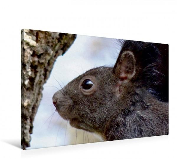 Wandbild Schwarzes Eichhörnchen Portrait Heimische Wildtiere Heimische Wildtiere