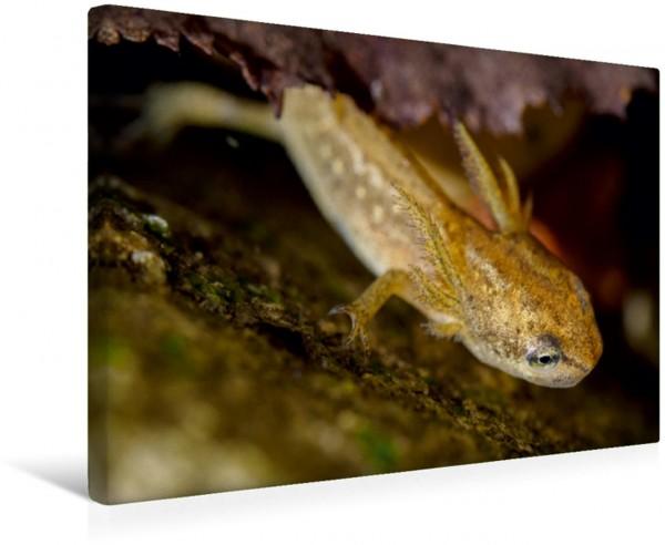 Wandbild Kleines Wassermonster Teichmolch-Larve mit deutlich ausgeprägten Kiemen erkundet die Umgebung. Teichmolch-Larve mit deutlich ausgeprägten Kiemen erkundet die Umgebung.
