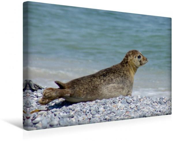 Wandbild Robbe an der Nordseeküste Insel Helgoland Insel Helgoland