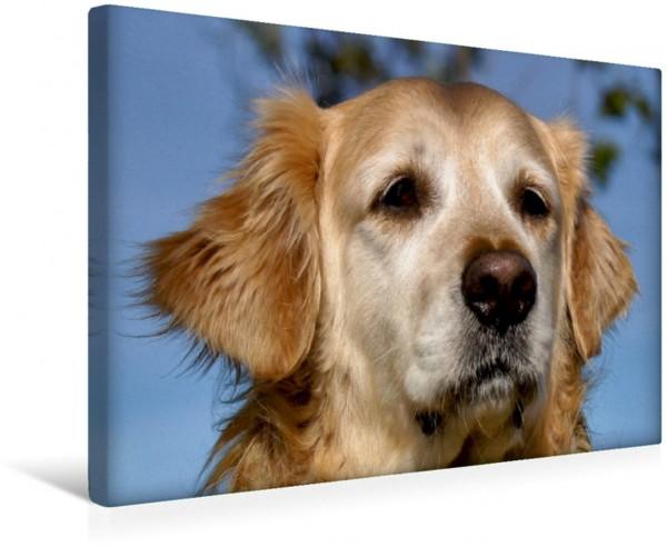 Wandbild Golden Retriever Portrait Jagdhunde und Hunde Jagdhunde und Hunde