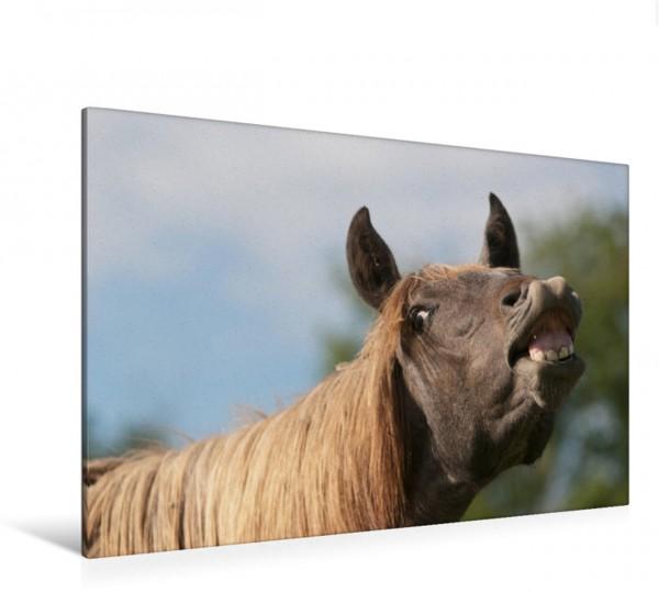 Wandbild Flehmender Andalusier Junghengst Lustiges Pferdekind Lustiges Pferdekind