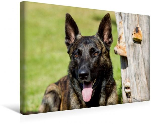 Wandbild ausdrucksvolle Holländische Schäferhunde
