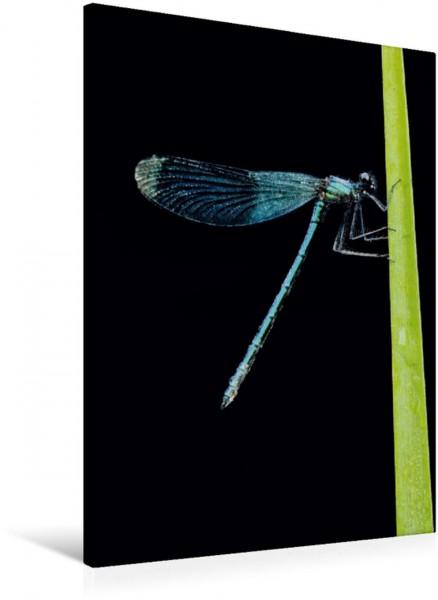 Wandbild Filigran - Gebänderte Prachtlibelle Gebänderte Prachtlibelle - Calopteryx splendens Gebänderte Prachtlibelle - Calopteryx splendens