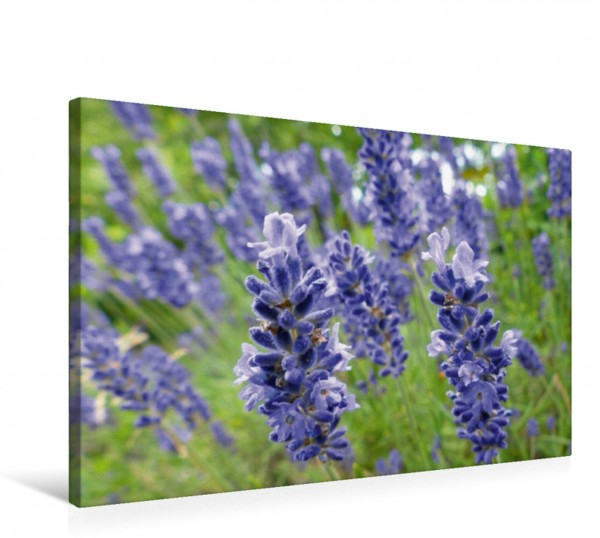 Wandbild Lavendel Lavandula Lavandula