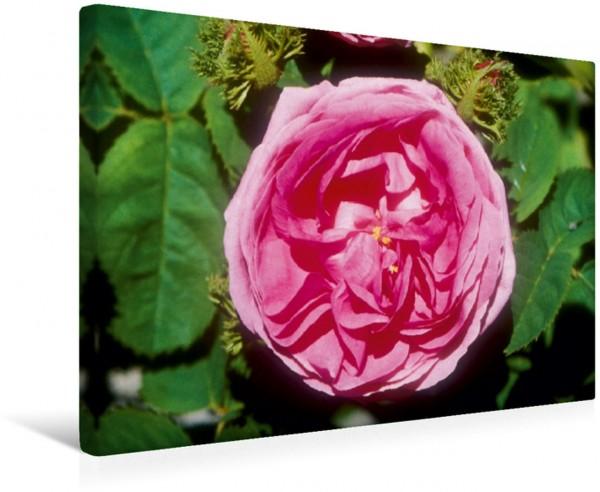 Wandbild Rosa centifolia muscosa: Sehr alte Moosrose Historische Rosen: die Königin der Blumen Historische Rosen: die Königin der Blumen