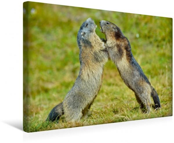 Wandbild Murmeltiere