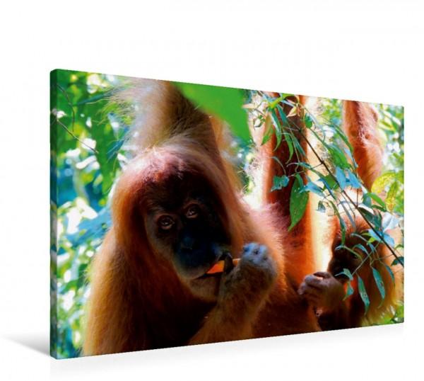 Wandbild Orang Utans - Sumatras sanfte Waldmenschen