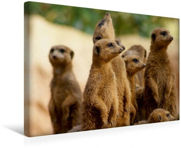 Wandbild Erdmännchen Die Welt der Erdmännchen Leinwandbild