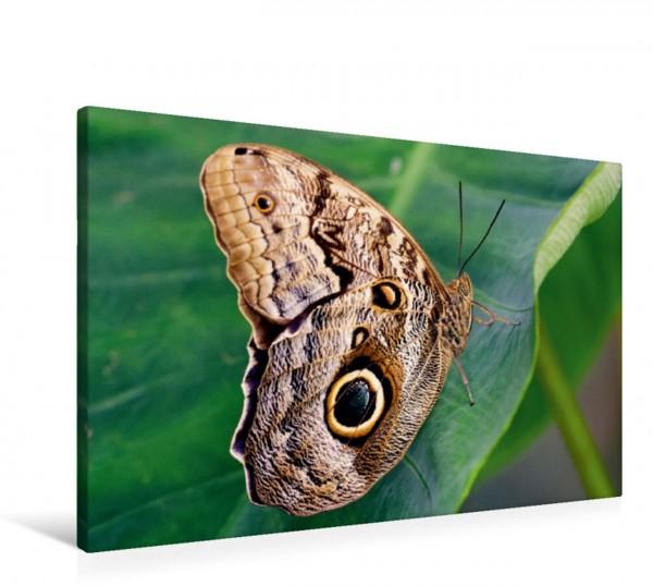 Wandbild Bananenfalter, Caligo eurilochus Tropischer Schmetterling aus Mittelamerika in seiner natürlichen Umgebung Tropischer Schmetterling aus Mittelamerika in seiner natürlichen Umgebung