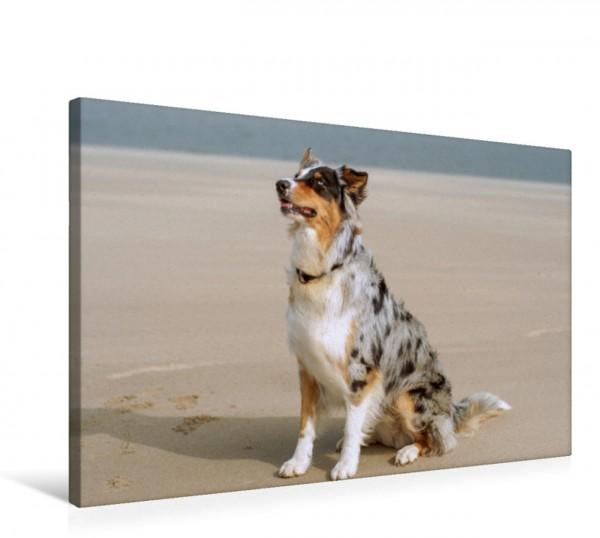 Wandbild Der Australian Shepherd ist ein gelehriger und aufmerksamer Hund Der Aussie fühlt sich auch am Strand sehr wohl Der Aussie fühlt sich auch am Strand sehr wohl