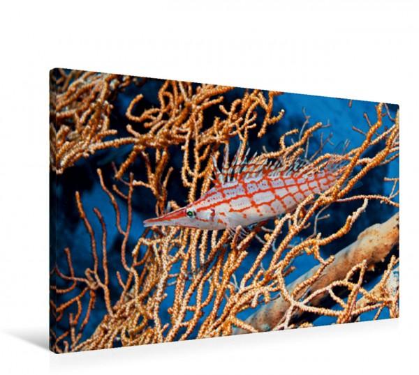 Wandbild Langnasenbueschelbarsch