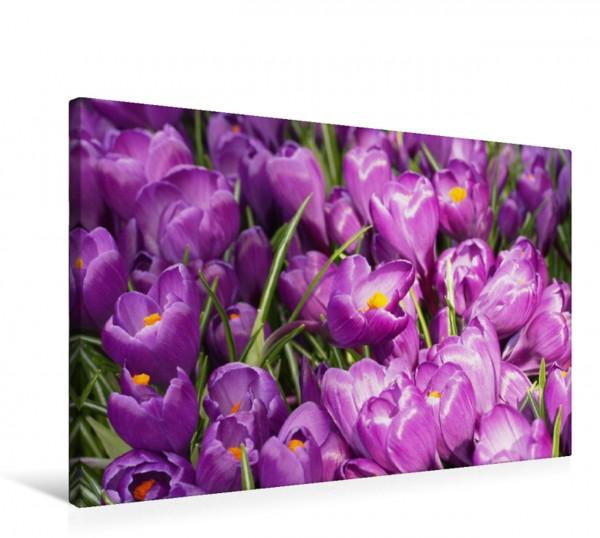 Wandbild Lila Krokusse Kleiner Blütenteppich Kleiner Blütenteppich