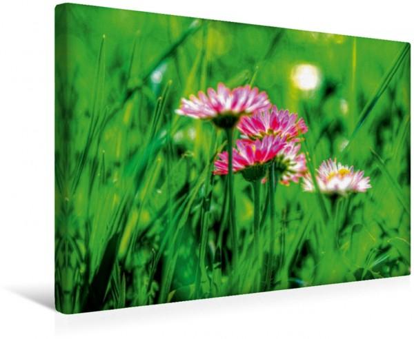 Wandbild Gänseblümchen : zart und fein Blütenpracht Blütenpracht
