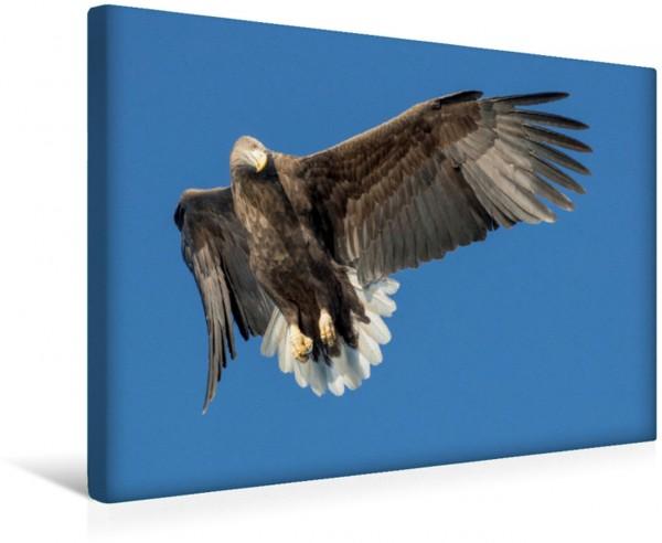 Wandbild Seeadler Der Seeadler fokussiert die Beute bevor er im Anflug eine Kurve fliegt. Der Seeadler fokussiert die Beute bevor er im Anflug eine Kurve fliegt.