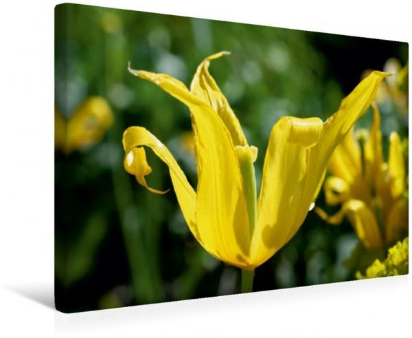 Wandbild Tulpe im Sonnenlicht Tulpenmakro Tulpenmakro