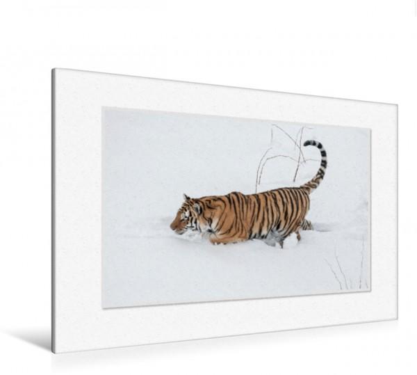Wandbild Emotionale Momente: Tiger - Kraft & Schönheit. CH-Version