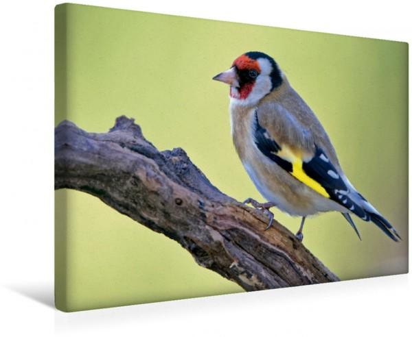 Wandbild Stieglitz Heimische Gartenvögel Heimische Gartenvögel