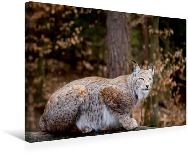 Wandbild Luchse - Europas größte Katzen