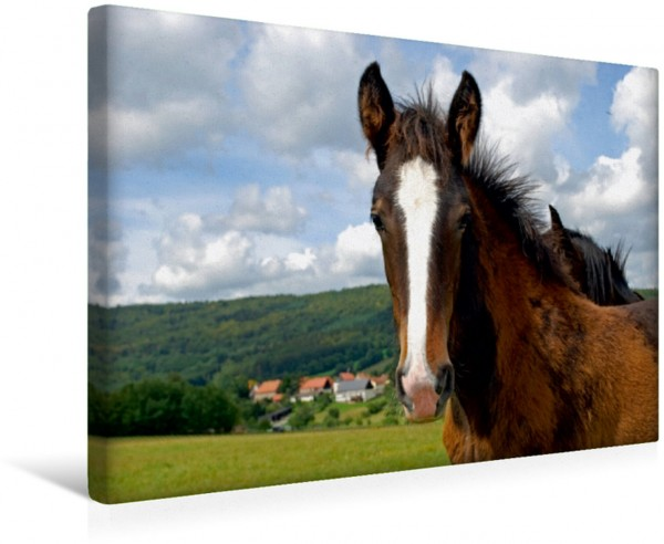 Wandbild Pferde Shire Horse Fohlen Leinwandbild
