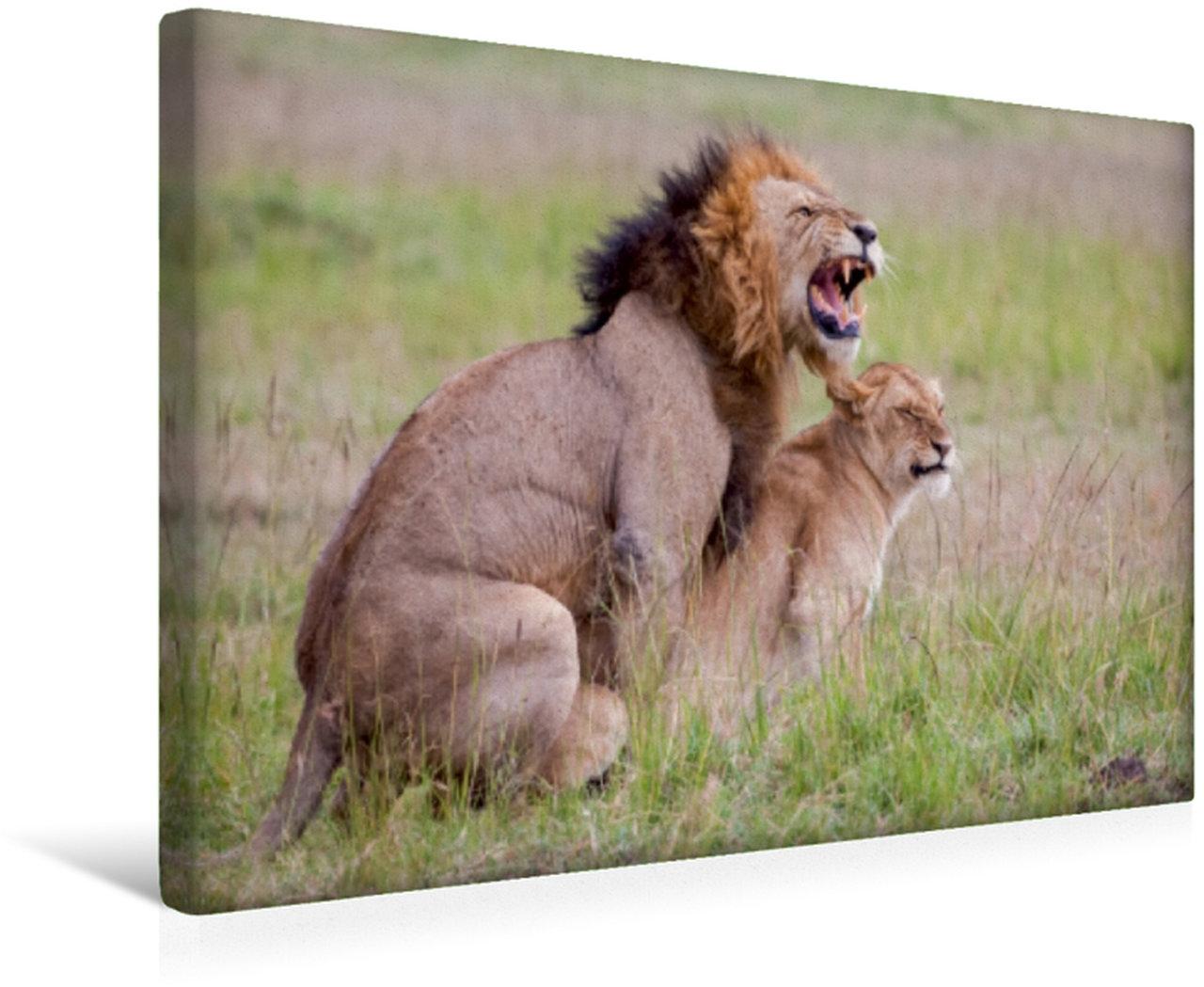 Wandbild Die Kraft der Löwen wird beim Liebesakt deutlich