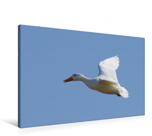 Wandbild Fliegende Hausente Enten und Haustiere Enten und Haustiere