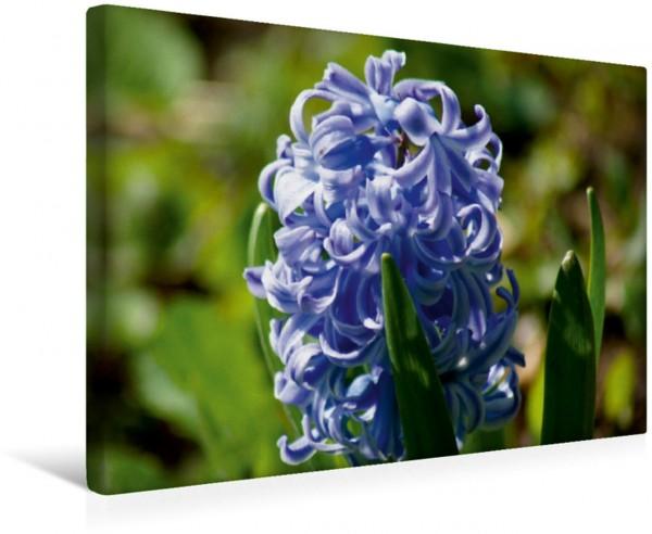 Wandbild Blaue Hyazinthe Blumen und Blüten im Frühling Blumen und Blüten im Frühling