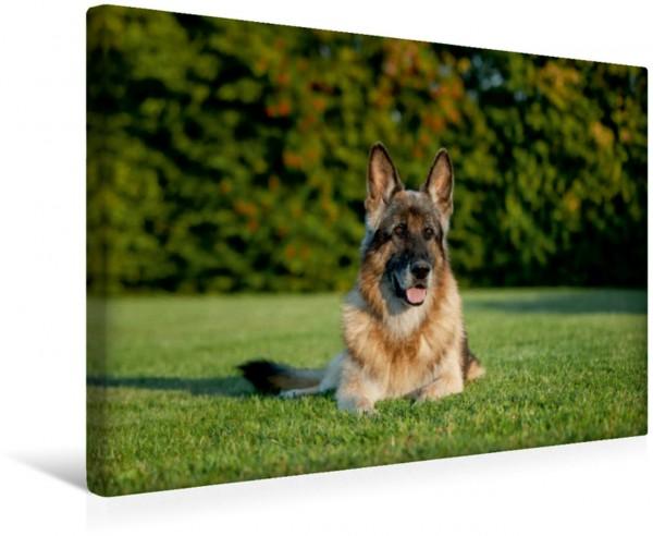 Wandbild Deutscher Schäferhund Yasso 12 Jahre Yasso 12 Jahre