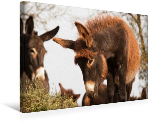 Wandbild Neugieriges Eselfohlen Poitou Esel Poitou Esel