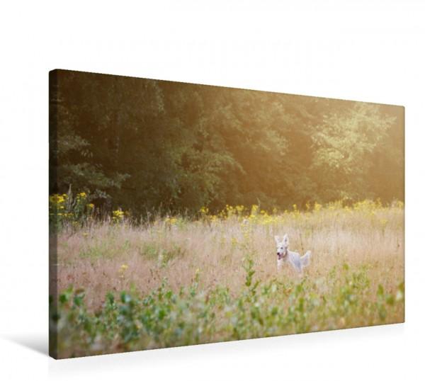Wandbild Ein English Setter tobt durch das blühende Feld Impressionen edler Hunde Impressionen edler Hunde