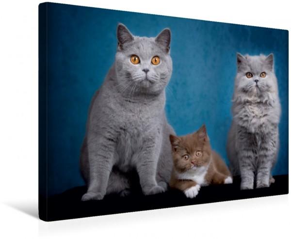Wandbild Kittens - Britisch Kurzhaar Katzenkinder