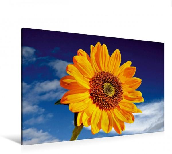 Wandbild Sonnenblume Sonja-Helianthus-Annuus aus Deutschland